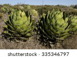 Small photo of Agave Shawii, La Mision, Baja California