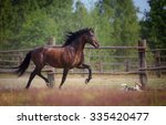 Stock photo bay andalusian horse 335420477