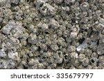 Small photo of Common Acorn Barnacle (Balanus glandula),Drumbeg Provincial Park, Gabriola , British Columbia, Canada