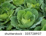 Raw Cabbage Crops