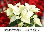 Beautiful White Poinsettia  ...
