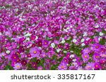 Colorful Cosmos Flower For...