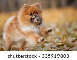 Stock photo cheerful fluffy pomeranian playing with a ball in the autumn park 335919803