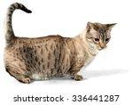 Munchkin Cat   Isolated