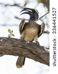 Small photo of African grey hornbill in Kruger national park, South Africa ; Specie Ceratotherium simum simum