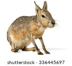Patagonian Cavy   Isolated