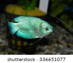 Small photo of Aquarium fish. Trichogaster or Colisa