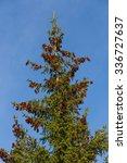 Small photo of Conifer tree laden with pinecones, Picea abies, Norway Spruce