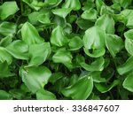Water Hyacinth Cover A Pond