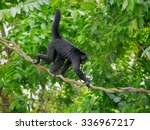 Spider Monkey In The Green...