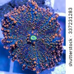Blood Stained Mushroom Coral