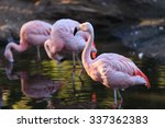 The Chilean Flamingo ...