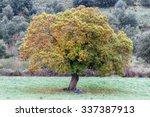 Castanea Sativa. Chestnut Tree...
