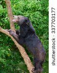 Black Bears Climbing Tree.