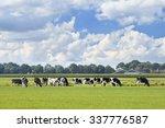 Holstein Friesian Cattle In A...
