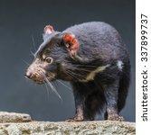 Small photo of Tasmanian devil close up