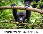 A Baby Gorila Inside The...