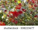 Viburnum Berries Red
