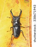 Small photo of Stag beetle Lucanidae