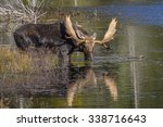 large bull moose  alces alces ...
