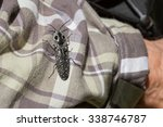 Small photo of Eyed Click Beetle, Alaus oculatus