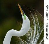 Displaying Great Egret ...