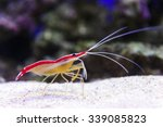 Small photo of Shrimp standing on small pebbles of sea bottom, diving, prawn with stones and coral reef on background, underwater wildlife, Lysmata graham