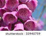 Foxglove Digitalis Purpurea...