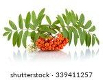 Orange Rowanberry With Blossom...