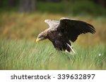 White Tailed Eagle Landing To...