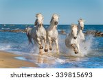 herd of white camargue horses...