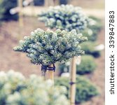"Small photo of Christmas trees growing in a landscaped garden. Abies Koreana ""Kohout's Icebreaker"""
