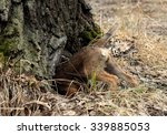 hunting dog young border...   Shutterstock . vector #339885053