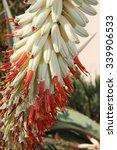 Small photo of Aloe ferox flower - white