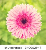 single picobello gerbera flower.... | Shutterstock . vector #340062947