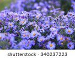 Small Purple Asters Wildflower...