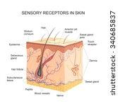 sensory receptors in skin | Shutterstock . vector #340685837