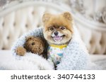 Pomeranian Puppy With Favorite...