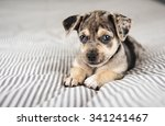 Stock photo adorable terrier mix marble colored puppy on bed 341241467