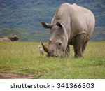 Wild White Rhinoceros Grazing...