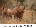 Endangered Black Rhino With A...