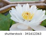 Close Up White Lotus Flower  O...