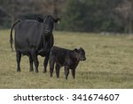 Black Angus Cow And Calf