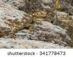 Small photo of Stellagama is a monotypic genus of agamid lizards containing the single species Stellagama stellio