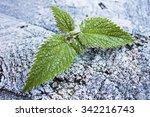 Nettle Hoarfrost Leaves Lie On...