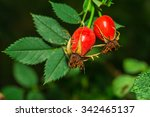 Rose Hip With Green In The...