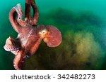 giant octopus dofleini against... | Shutterstock . vector #342482273