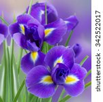 Fresh Blue  Irises Flowers...