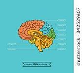 human brain anatomy structure.... | Shutterstock .eps vector #342529607