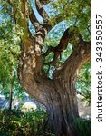 Old Huge Rosewood Tree Near Th...